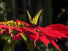 Noche buena y Mariposa (marthahari) Tags: mxico edomex chapingo mariposa butterfly flor flawer airelibre planta follaje insecto nochebuena