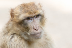 Portrait of a Barbary macaque (Hans Pluim) Tags: rhenen utrecht nederland nl barbarymacaque barbaryape berberaap magot macacasylvanus macacasylvana makaak cercopithecidae aap ape nature outdoor powerful animal europe europa closeup zoo portrait portret