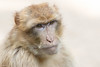 Portrait of a Barbary macaque (Hans Pluim) Tags: rhenen utrecht nederland nl barbarymacaque barbaryape berberaap magot macacasylvanus macacasylvana makaak cercopithecidae aap ape nature outdoor powerful animal europe europa closeup zoo portrait portret