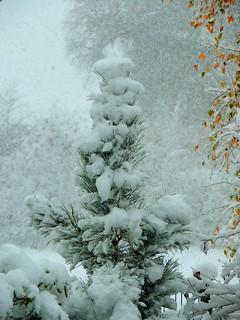 Schwarzkiefer im Schneemantel - black pine