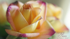 Peace is a beautiful thing! (judith511) Tags: odc favouritethings rose peacerose rosamadameameillard flower naturethroughthelens