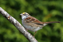 White-throated Sparrow (brian.bemmels) Tags: zonotrichiaalbicollis zonotrichia albicollis whitethroated sparrow whitethroatedsparrow richmond bc canada