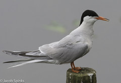 Common Tern-2453 (Wildlife Boy1) Tags: birds wildlife nature wildlifephotography waterbirds summer summervisitor jacob spinks 2016 nikon nikond7100 nikonlens photography