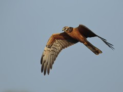 Pallid Harrier - Circus macrourus (amitbandekar) Tags: divar goa india circus macrourus harrier