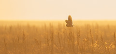 Short-eared owl (Andy Davis Photography) Tags: owl asioflammeus shorteared backlit sun afternoon marsh grasses sunset commentandcriticismwelcome goldenhour inexplore
