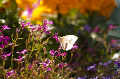Cabbage Butterfly (WoodlandsPhotography) Tags: macro butterfly insect white cabbagebutterfly nature flower animal lepidoptera garden closeup cabbage light life horizontal fragility freedom tranquil wild wildlife wings summer plant single outdoor natural flora sitting whitebutterfly wing antenna beautiful orange purple lavender pink blue green beauty marilynwilson