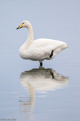 lft - Whooper swan - Cygnus cygnus (Elma_Ben) Tags: lftwhooperswan cygnuscygnus canoneos7dmarkii sigma150600mm elmaben iceland mirror reflection beautiful beautifulbird beauty white blue water
