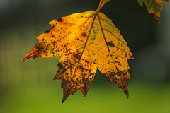 295/366 - Details (Ravi_Shah) Tags: autumn cy365 potd nature leaf colors sony fall a7ii