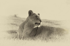 Regal (Den Gilbert) Tags: cats bw bigcats safari savanna africa lioness lion wildlife woburn park mono blackwhite mist photography portrait