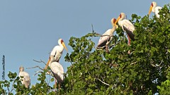 Coloured storks in the mangrove forest,  Ibo Island, Moambique (Sekitar) Tags: afrique africa mosambik moambique mozambique coloured stork mangrove forest ibo island nature bird alam