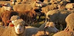 Dark sheep wearing the Mask of Zorro (Ookpik Photography) Tags: sheep nature mouton animal wool panasonic gh4 425mm f17 mask zorro hero 7dwf lumix microfourthirds micro43 inthemountain