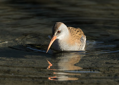 Water Rail - Rallus aquaticus (Gary Faulkner's wildlife photography) Tags: waterrail kentbirds