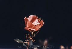 Black Rose (uselessbay) Tags: 16 agfavista100 epsonperfectionv600 nikon providence rhodeisland uselessbayphotography vsco williamtalley blackandwhite buildings film floraandfauna flower nikonf4 sy uselessbay