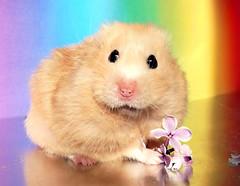 10 Years Ago.. ~ ♡CHMURKA♡ (pyza*) Tags: chmurka chimi chomik hamster hammie syrianhamster beautiful girl angelpuchikumo pyza thebesthammieever animal pet xxx