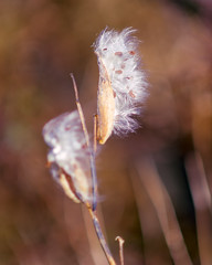 The Big Day (Chancy Rendezvous) Tags: silky weed fall autumn cotton seed pod field imwithher nikon nikkor chancyrendezvous