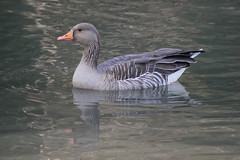 Goose greylag (ekaterina alexander) Tags: greylag goose wetland wetlands ekaterina england alexander sussex nature photography pictures anser bird orange beak wild wildfowl