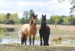 4193197_orig (amable) Tags: friesian friesians friesianhorse fries andalusian andalusier horse horses bucks buckskin tricks tricktraining prance prancing animals black holland dutch