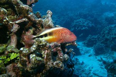 high ground (BarryFackler) Tags: paracirrhitesforsteri blacksidehawkfish benthic fish freckledhawkfish hilupilikoa pforsteri vertebrate marinelife water animal zoology organism creature being life seacreature sealife pacificocean marineecosystem fauna aquatic konacoast sea hawaii biology scuba konadiving 2016 sealifecamera outdoor marinebiology marineecology marine nature barryfackler barronfackler bigisland bigislanddiving bay southkona sandwichislands saltwater diver diving dive hawaiiisland hawaiicounty honaunau honaunaubay hawaiidiving hawaiianislands kona polynesia pacific island underwater undersea tropical coralreef ecology ecosystem westhawaii reef coral