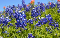 Texas Blue Bells (lePhotography) Tags: noth texas blue bell flowers
