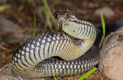 Highlands Copperhead (Austrelaps ramsayi) (Mattsummerville) Tags: copperhead snake austrelapsramsayi elapid venomous lithgow australia