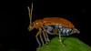 "Anyone for pumpkins? - ""Explored"" (ncdslr) Tags: animal beatlesbeetles beetle insect macro macromondays nature pumpkinbeetle redpumpkinbeetle kanpur uttarpradesh india"