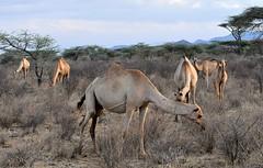 Camels grazing in Samburu. (One more shot Rog) Tags: camela camel camels cameltrain samburu samburunationalpark kenya safari africa hump nature grazing camelfarming animals wildlife