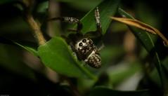 Opisthoncus serratofasciatus (dustaway) Tags: arthropoda arachnida araneae araneomorphae salticidae hyllinae opisthoncusserratofasciatus jumpingspider australianspiders northlismore northernrivers nsw australia nature
