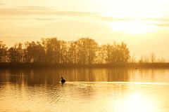 black swan (Marian_Heinzmann) Tags: havel schwan fluss river brandenburg sonne sun morgenlicht licht light gegenlicht silhouette goldenlight nature birds sunrise dawn