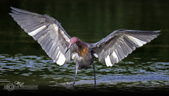 DSC_4711 (mikeyasp) Tags: egrets reddishegrets birds avian outdoors nature wings feathers egrettarufescens