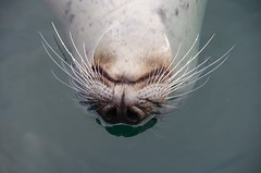 Harbour seal swimming upside down (daniellacy562) Tags: animal closeup face floating harbourseal mammal marine nature outside pinniped sea seamammal smile swimming upsidedown water whiskers