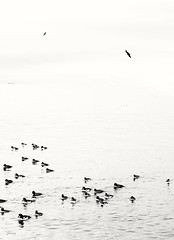 Birds (Janey Song) Tags: nature birds blackwhite black white water sea ducks leicamtyp240 aposummicronm1290asph vancouvercanada