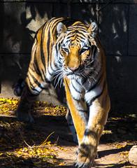 Tiger Strut (photosbymunson) Tags: tiger siberian am animal zoo philadelphiazoo amurtiger siberiantiger amur cat stripes mammal wildlife whiz
