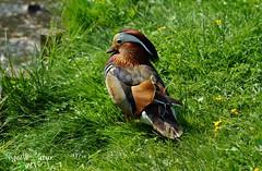 Mandarinente (VögelNatur) Tags: mandarinente natur wasservogel duck