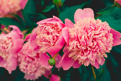 pretty pink peonies in the garden  (Shandi-lee) Tags: pink flowers light roses summer sunlight canada flower color colour detail macro green love nature floral colors girl beautiful rose gardens female composition canon garden landscape outside outdoors photography 50mm petals spring cool flora warm soft pretty colours photographer natural bright bokeh gardening outdoor vibrant pastel 14 4 peach naturallight romance peony petal 7d bloom bouquet growing blossoming colourful blooms florals tones peonies 50mmf14 blooming flowergarden naturallighting ruleofthirds fourobjects canoneos7d shandilee 4objects shandileee shandileecox instagramapp