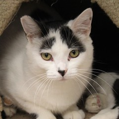 Domino(1) (Mary022378) Tags: cats kittens naperville adopt adoptpetshelter