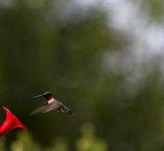 Ruby-Throated Hummingbird (Archilochus colubris) Male (www.heatmadesimple.com) Tags: nature hummingbird northern