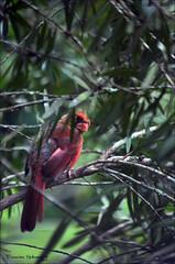 Angry Bird (Francine Schumpert) Tags: bird nature cardinal wildlife bottlebrush angrybird jacksonvillefl nikond5100