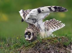 Short-eared Owl (Brandugla) 43 (sindri_skulason) Tags: shortearedowl brandugla