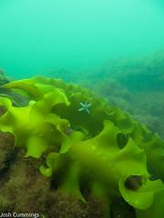 Kelp and Starfish (Josh.Cummings) Tags: scuba diving shipwreck drysuit joshcummings joshuacummings nategarrett joshcummingsunderwater newenglanduwphotographywater jrcummings