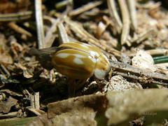 Progasta (dolgolisasta) polonica (natalija2006) Tags: nature slovenia ladybird slovenija striped coleoptera coccinellidae narava myzia polonica oblongoguttata hroi polonice progasta dolgolisasta