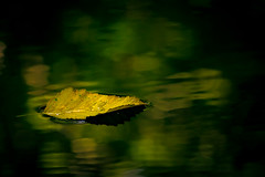 (zh3nya) Tags: seattle blur reflection green nature water yellow closeup leaf pond ripple calm float washingtonstate stillness discoverypark