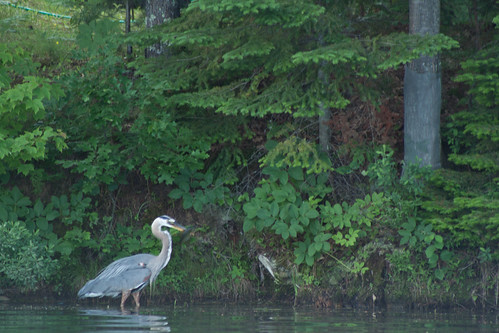 """Heron • <a style=""""font-size:0.8em;"""" href=""""http://www.flickr.com/photos/23215983@N02/9603494326/"""" target=""""_blank"""">View on Flickr</a>"""