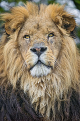 A nice lion portrait
