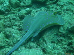 Taeniura lymma (California Will) Tags: ray redsea spotted jeddah saudiarabia ksa bluespotted ribbontail taeniuralymma