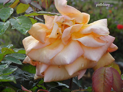 A salmon pink rose in my garden (pat.bluey) Tags: flowers orange water rose drops australia newsouthwales 1001nights mygarden naturemasterclass awesomeblossoms 1001nightsmagiccity hennysgardens