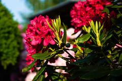 Rhododendron_Helmshagen-20130528-175525-i023-p0002-SLT-A77V-50_mm-.jpg