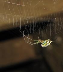 Orchard Orbweaver (Bug Eric) Tags: usa nature animals outdoors spiders wildlife indiana northamerica bloomington arachnids orbweaver araneae longjawedorbweaver orbweavers orchardorbweaver leucaugevenusta arachtober june202013 tetragnathida
