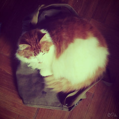 Idefix : It's good here, on daddy's bag ... (Instagram) (Teensy-Weensy Pouchou) Tags: cute cat bag rest resting idefix loulous ipadmini instagram