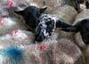 awaiting our fate (calvin.downes) Tags: shropshire sheep market shrewsbury livestockmarket