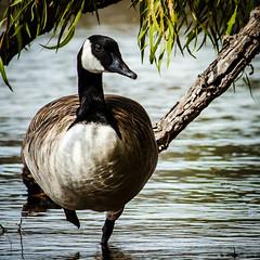 Goose, Resting (Diana Philpot) Tags: statepark nature fauna texas canadian goose inkslake